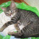 Котенок, серый-полосатый :-) и очень милый дома