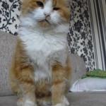 Шикарная кошечка Моника осталась у своих временных хозяев навсегда:)