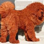 Самая дорогая в мире собака