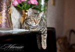 муричковый окрас кошка