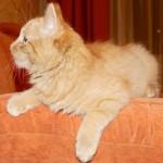 Рыжая кошечка Рада дома! :-)