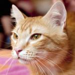 Лёва — добрый рыжий кот в новой семье!!