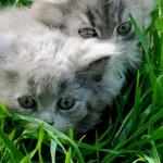 Дымчатые пушистые котята дома!