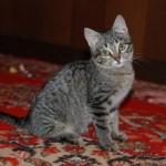 Кошечка Люся, «лесного» окраса  дома
