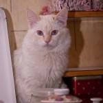 Молодой кот породы балинез, рэд поинт уехал в Шклов