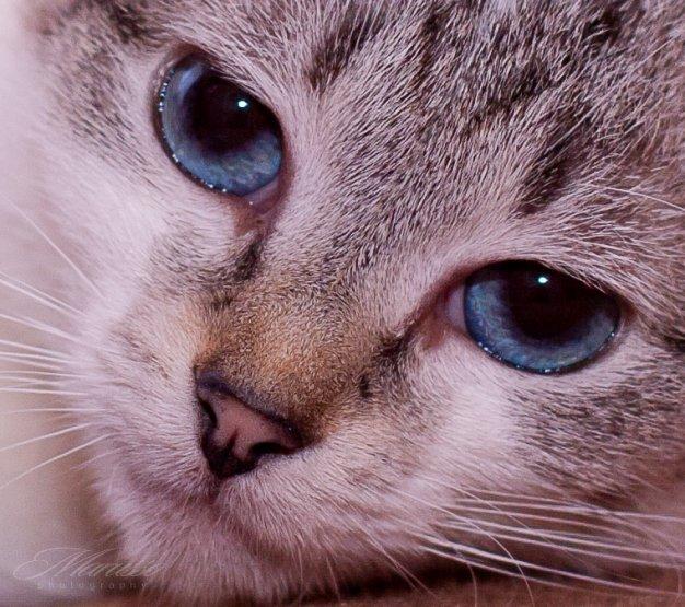 Самая впечатляющая особенность внешности тайских кошек - огромные, чарующие сапфировые глаза