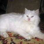 Кот Тиша, белый, ангора, нашел свой дом :-)