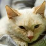 Кот Белёк, тайский, рэд поинт нашел своего хозяина