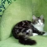 Котёнок мраморного окраса. Марсель дома