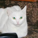 Стасик, белый, ласковый котик нашел свой дом!!!