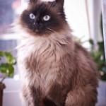 Балинезийская кошка Симона дома