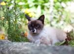 cиамская кошка (4)