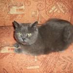 Найден кот британец