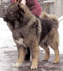 Кавказская овчарка Фото2