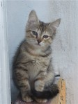 котенок Алиса