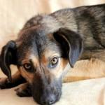 Жу-жу — собака компаньон дома
